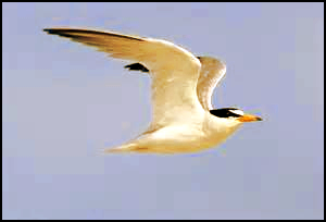 whitebird3