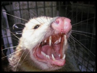 possum4